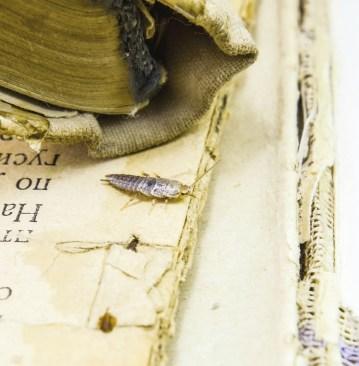 A silverfish can wreak havoc in ancient manuscripts