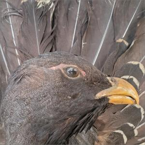Unusual Shield Mounted Capercaillie Taxidermy with tail feathers