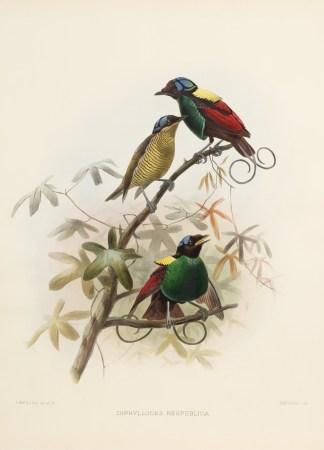 Elliot - New Guinea