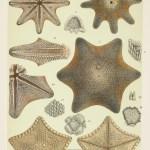 Bryozoans, Echinoderms, Sea Pens - McCoy's Zoology
