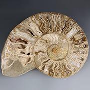 Polished ammonite fossils