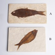 Knightia Fish Fossils