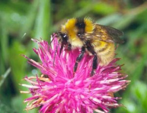 Great Yellow Bumble Bee