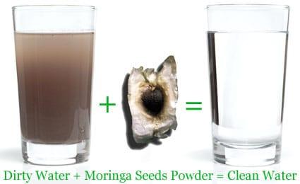 le moringa purifie l'eau