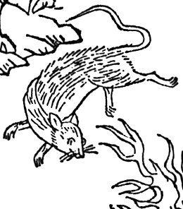 火鼠,轉自https://zh.wikipedia.org/zh-tw/%E7%81%AB%E9%BC%A0