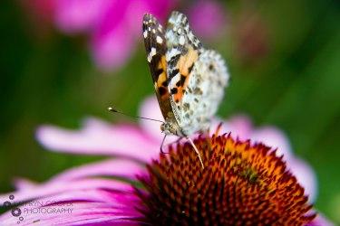 Brooklyn Butterfly