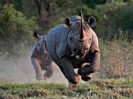 @davidglobalag caught this incredible rhino-running shot in Kenya. I just wish it were bigger! https://twitter.com/davidglobalag/status/521741528742367232/photo/1