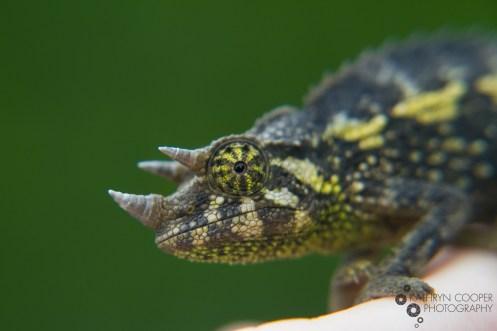 Backyard chameleon! It's a Jackson's 3-Horned species