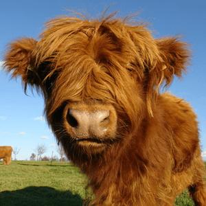 dieren zoals een koe