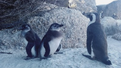African Penguins – also known as jackass penguins because of their distinctive braying.