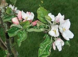 Äppleblom