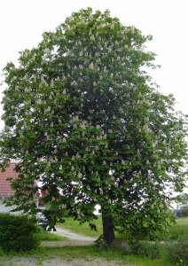 Kastanjeträd på våren