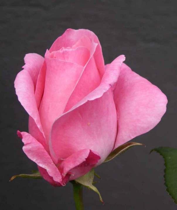 Queen Elisabeth ros