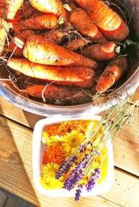 Morötter, Tagetes och Färgkulla och några Lavendel