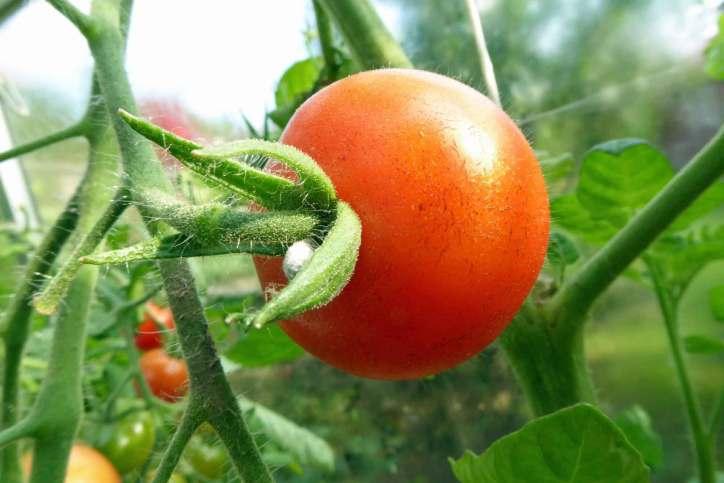 Tomat Gardener's Delight, min favorit