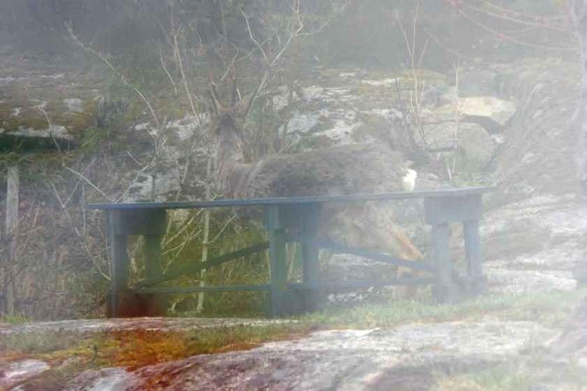 Råbock i dimma