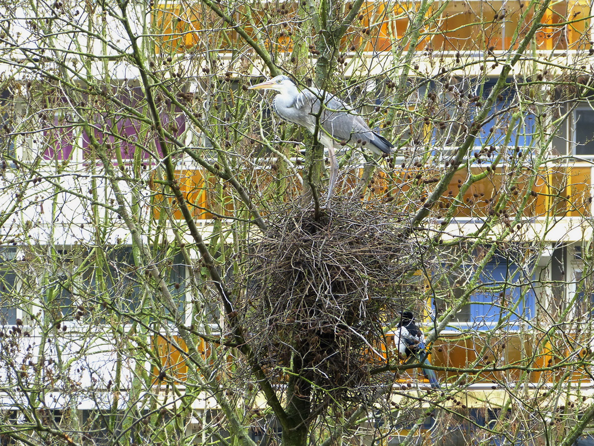 Herron Squats Magpies' Nest