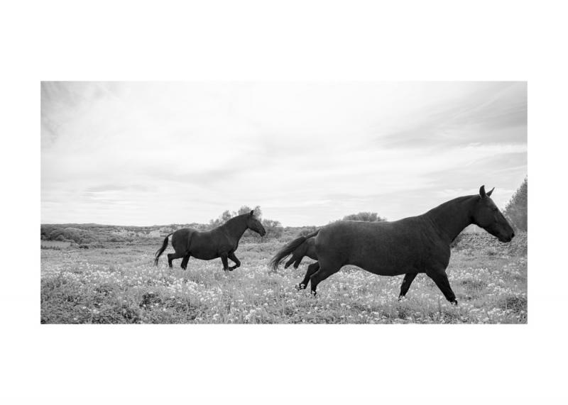 Menorquin Horse: #011