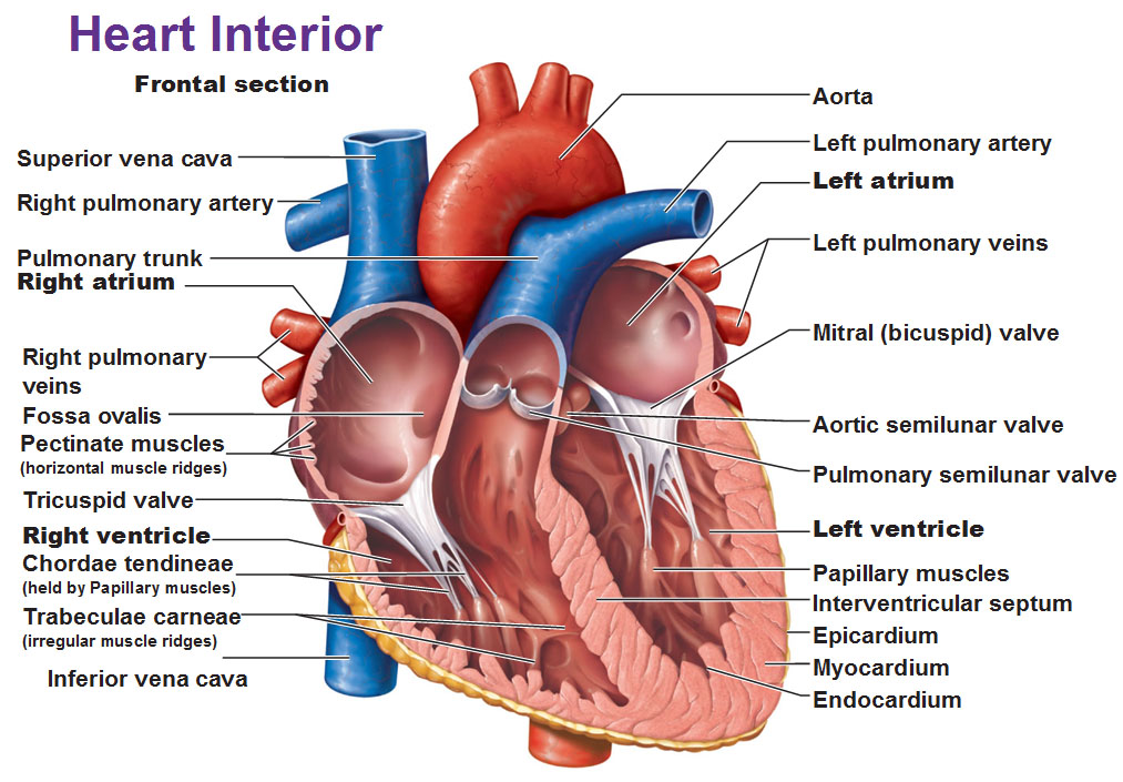 Image result for interior of right ventricle