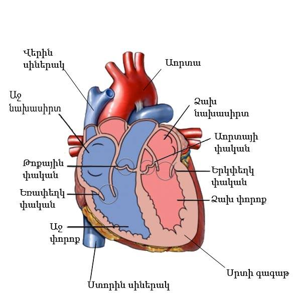 Diagram Heart Half Cut