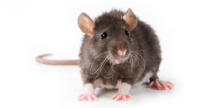 Секс мужчиной крысой