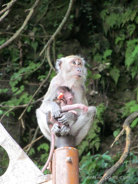 monkeys in Batu