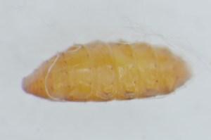 蛹の拡大写真