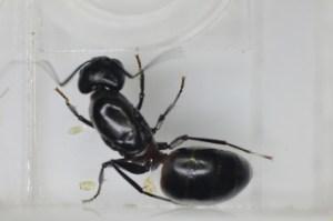 SIMSMA01011 2011年6月8日採集 ムネアカオオアリ 卵1個