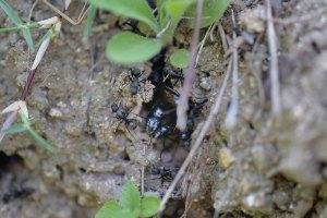 巣の中に有翅雌アリの姿があった