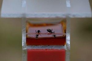 蜜を飲むF巣の働きアリ 15時3分撮影
