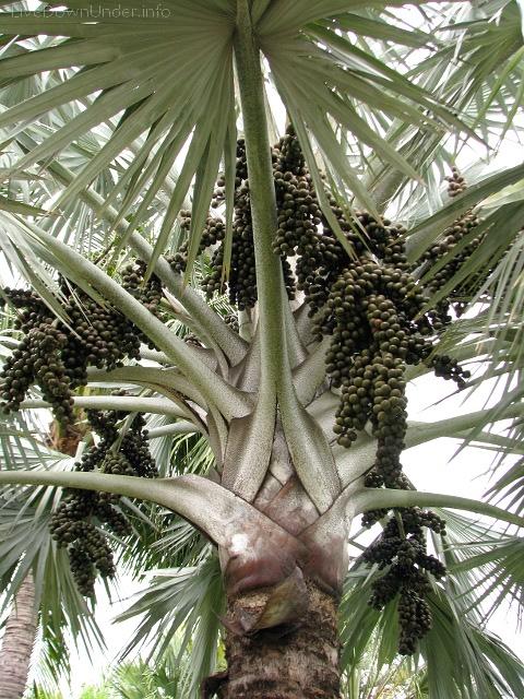 Townsville. Niech ktoś mnie oświeci: czy to jest palma daktylowa czy inne cudo?