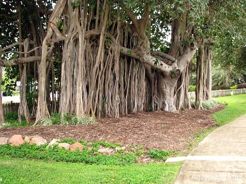 Drzewo na Magnetic Island