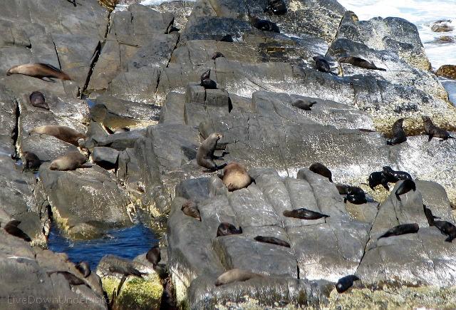 Foki na Cape du Cuedic