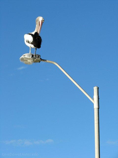 pelikan na słupie