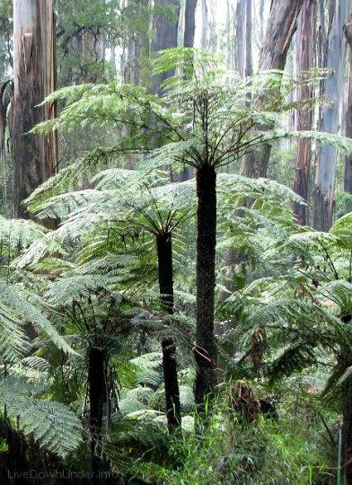 paprocie drzewiaste, Sherbrooke Forest, Góry Dandenong, Wiktoria, Australia