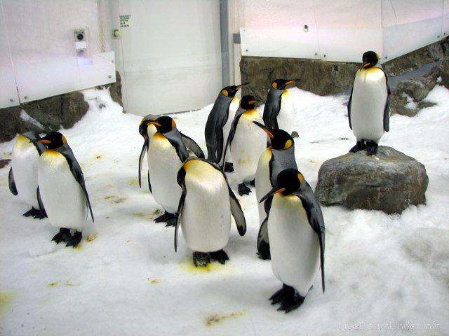 Pingwin cesarski w Akwarium w Melbourne