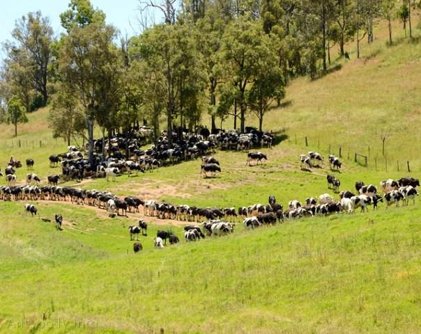 krowy w Australii, Tantawangalo Mount Road, Wielkie Góry Wododziałowe, NSW, Australia
