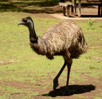 emu, Tower Hill, Wiktoria, Australia
