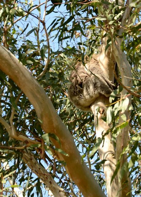 koala, Tower Hill, Wiktoria, Australia