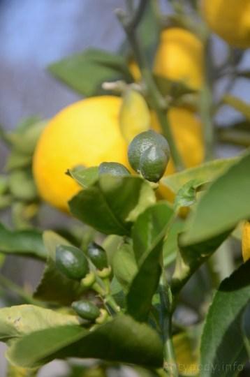 cytrynka w ogrodzie, zima w Australii
