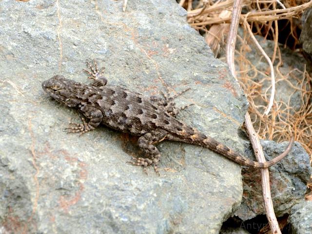 jaszczurka, Big Sur, Kalifornia, USA