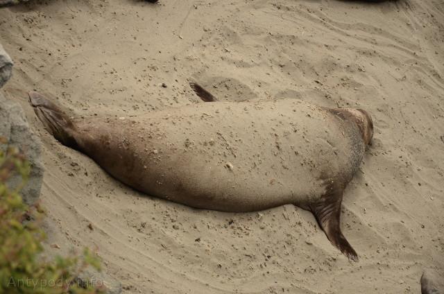 słoń morski, Big Sur, Kalifornia, USA