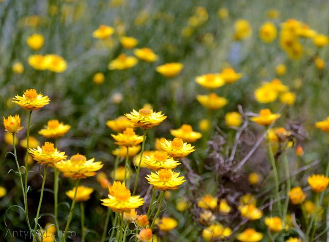 leśne kwiatki australijskie, Castlemaine, Wiktoria, Australia