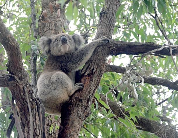 koala, Mallacoota