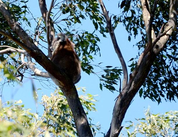 koala na French Island