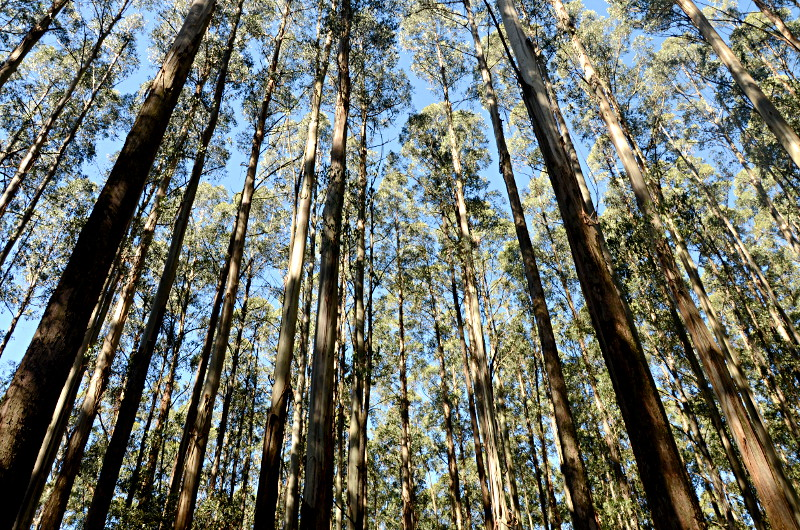 Mountain ash, Toolangi State Forest, Victoria