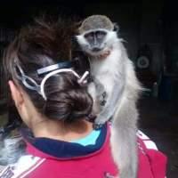 Maimuță minunată de capucini pentru adopția de Crăciun