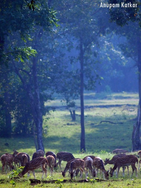 Chital Flock, Pench National Park