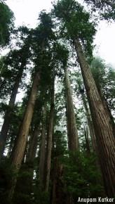 Coastal Redwoods, Humboldt Redwoods State Park