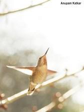 Hummingbird, backlit